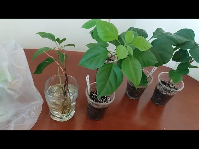Бугенвиллия. Размножение в воде или грунте