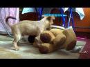 Собака Фетишист. Озабоченный щенок. Секс с игрушкой.