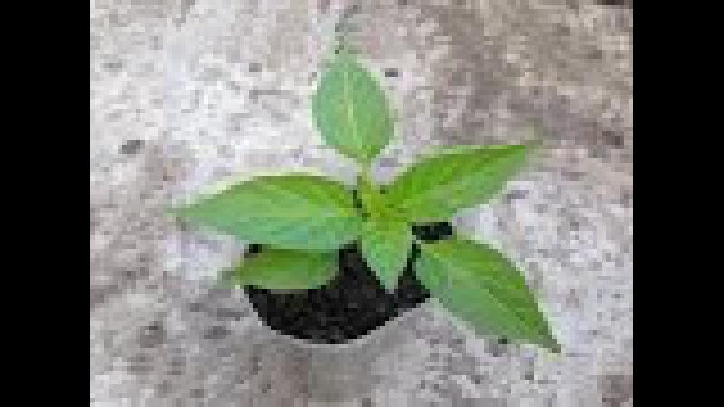 Как вырастить здоровую рассаду перца / Рассада перца / Подкормки рассады перца