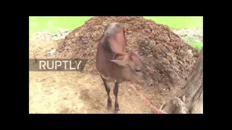 Индия: Амб-му-копьё, как правило, нуждается в коровах.