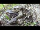 Жаба оплодотворение Икра жаб Беременная жаба змея Гадюка Лягушка царевна жаба ж...