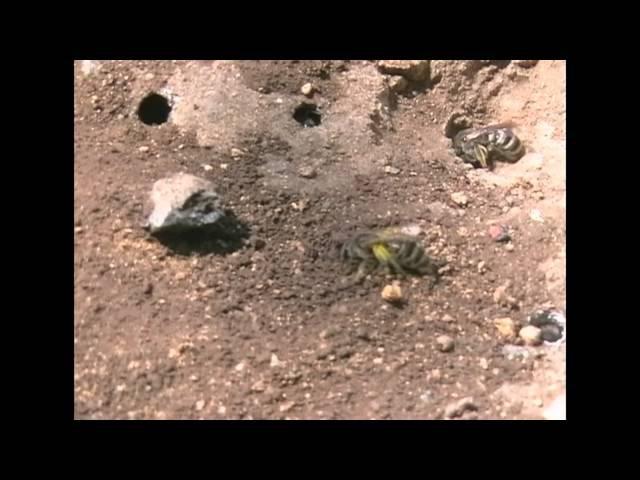 Excavation Bees. Земляные Пчелы.