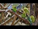 Веселое пение волнистых попугайчиков Funny singing of wavy parrots