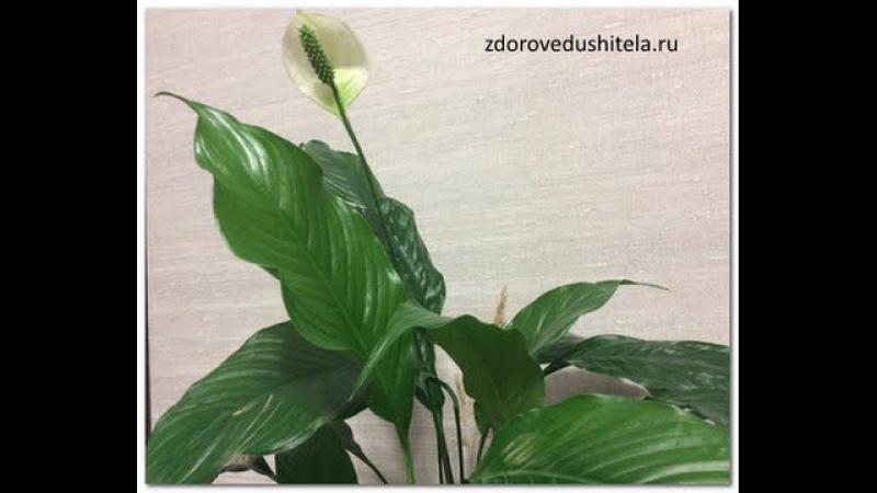 Самые полезные комнатные растения. ТОП-7 для здоровья