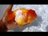 Разнообразие сортов (часть 05) Золотых Рыбок ''Цзиньюй пиньчжун дэ доян син''. Племенная ферма по разведению рыбок ''Нунчан Сыян