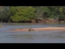 Охота ягуара на крокодила