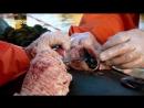 Анатомия крупнейших животных Большая белая акула 6 серия