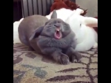 Сладкий зевающий кролик