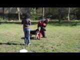 21016 Вео Алия (Вео Виват Шахиня). Давление на собаку 2 Дрессировщик Дмитрий Скок Краснодар.