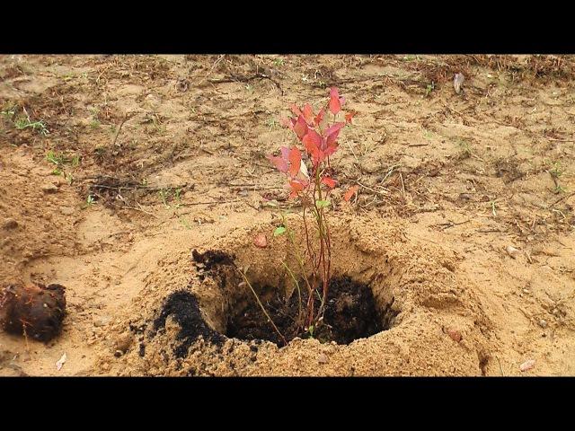 Как правильно приготовить посадочную яму для голубики