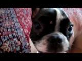 Home racer french bulldog Luna! Dog racing!  Домашний гонщик - французский бульдог Луна!