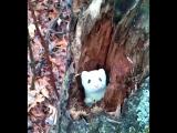 Любопытный горностай.