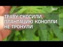Во Владимирской области обнаружили плантацию конопли за стенами женского монас...