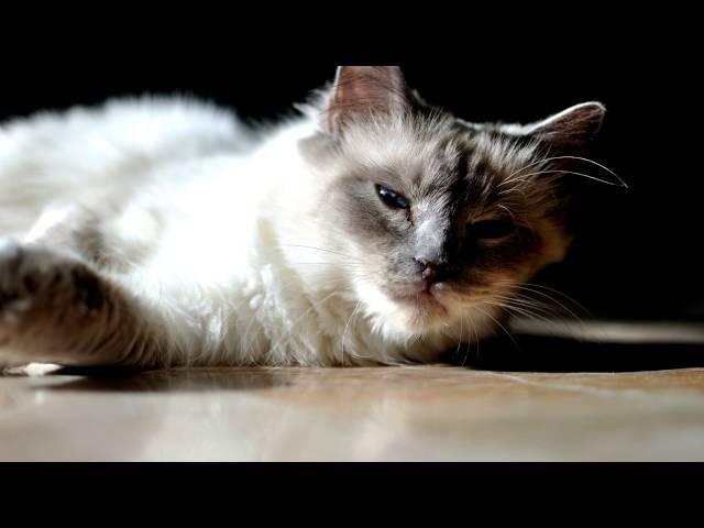Порода кошек. Священная бирманская кошка (священная бирма).Несравнимая элегантная внешность.