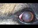 Мутные глаза у немецкой овчарки: паннус / Cloudy Eye in a German Shepherd: Pannus