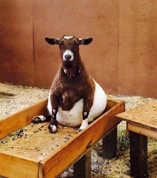 Вот как выглядят животные во время беременности