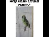 попугай Риана