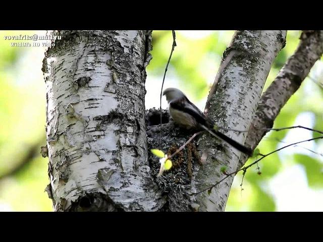 Aegithalos caudatus 2(Long tailed Tit, Длиннохвостая синица, Ополовник, гнездо 6 метров) » Freewka.com - Смотреть онлайн в хорощем качестве