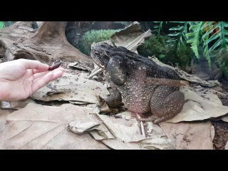 Кормление жабы аги куколками мотылька бражника