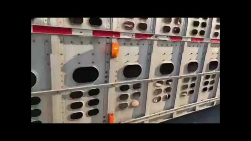 Vegans tries to stop a fully loaded livestock truck and fails completely