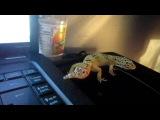 leopard gecko yawn )