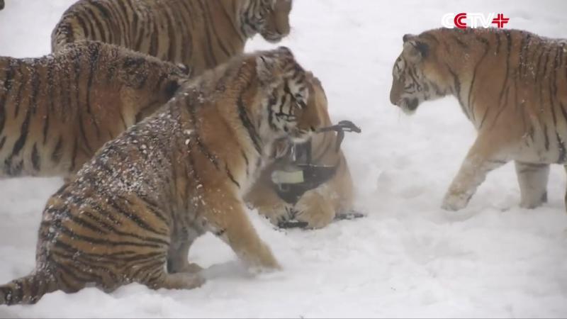 Охота тигров за электронной птицей