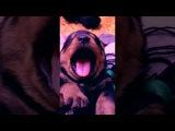 Щенок ротвейлера зевает  Rottweiler puppy yawns Pride of BeauMonde