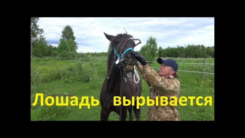 Лошадь вырывается. Как водить?
