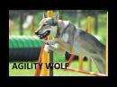 """National Agility Competition """"Rudens Kauss 2016"""" A-1, agility Czechoslovakian Wolfdog"""