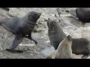 Морские Котики - Такие Смешные. Новая Зеландия