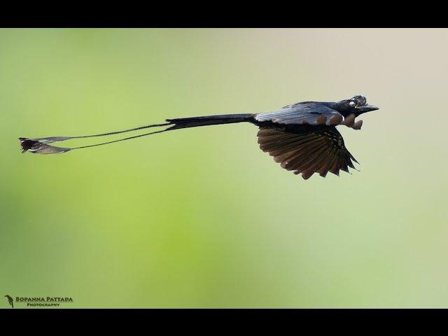 Ра́йский дронго (лат. Dicrurus paradiseus)