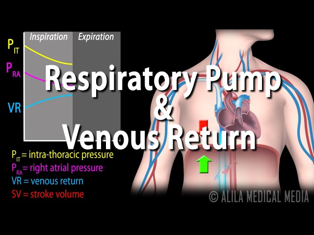 How Respiratory Pump Affects Venous Return, Animation.