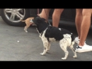 трусливый пес дрожь