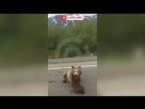 Двое осиротевших медвежат в Приморском крае вышли на дорогу к людям за едой