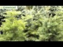 Пихта одноцветная видео обзор от Greensad