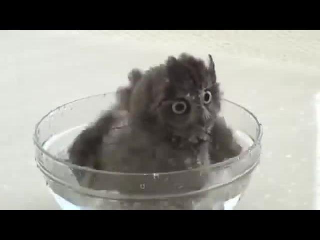 Owl the tempo