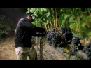 Night Harvest | Harvesting Merlot Grapes for Jordan Cabernet Sauvignon | Alexander Valley