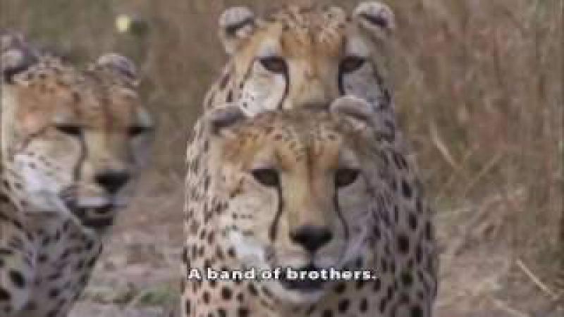 Охота гепардов на страуса Завалили птицу, но получили когтем по башке