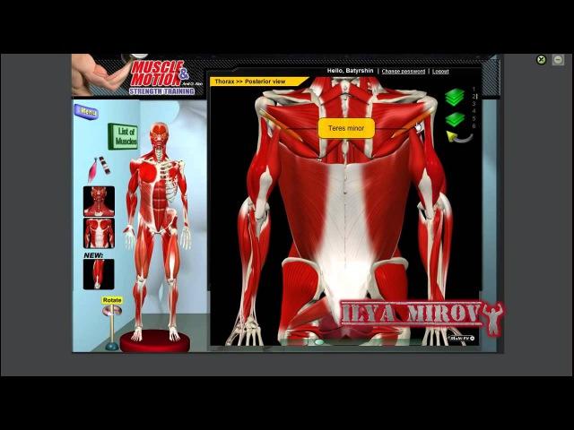 Большая и малая круглые мышцы Анатомия и функции смотреть онлайн без регистрации