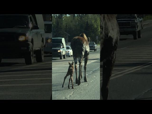 Baby and Mama Moose Block Alaskan Roadway