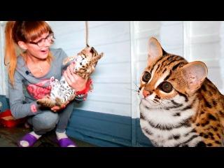 НОВЫЕ КОШЕЧКИ! Приехали котята азиатских леопардовых кошек (АЛК, бенгальские)