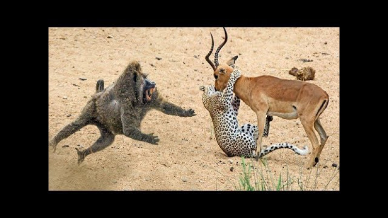Baboons Save Impala From Cheetah, BIG CATS Hunting Lions Tigers Cheetahs Bear Elephant Komodo