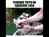 Реакция тигра...