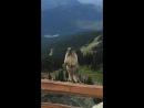 [VDyoutube]-Marmot screaming on Blackcomb Mountain - Сурок кричит в горах.
