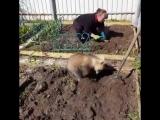 Обычный день в России: Медведь помогает на даче сажать картошку)))