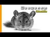 ШИНШИЛЛЫ - УХОД И СОДЕРЖАНИЕ  AL 3080 ANIMAL Life