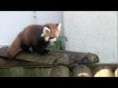 母を呼ぶレッサーパンダの赤ちゃん~Red Panda Baby is crying