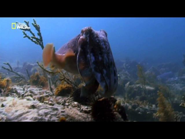 Cuttlefish hypnosis gif