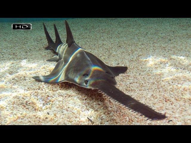 Пятиметровый хищник с телом акулы и носом-пилой, который оснащен большими и острыми зубцами