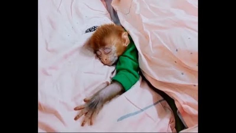 I can't stop to watch the pocket monkey's sleepy part over and over - Cute baby monkey's video